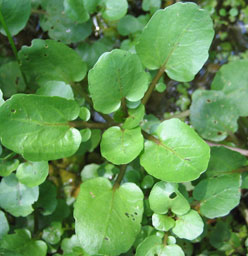 watercress,liver,kidneys,health conditions,detoxifying